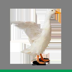 Mangimi Losasso - Avicoli